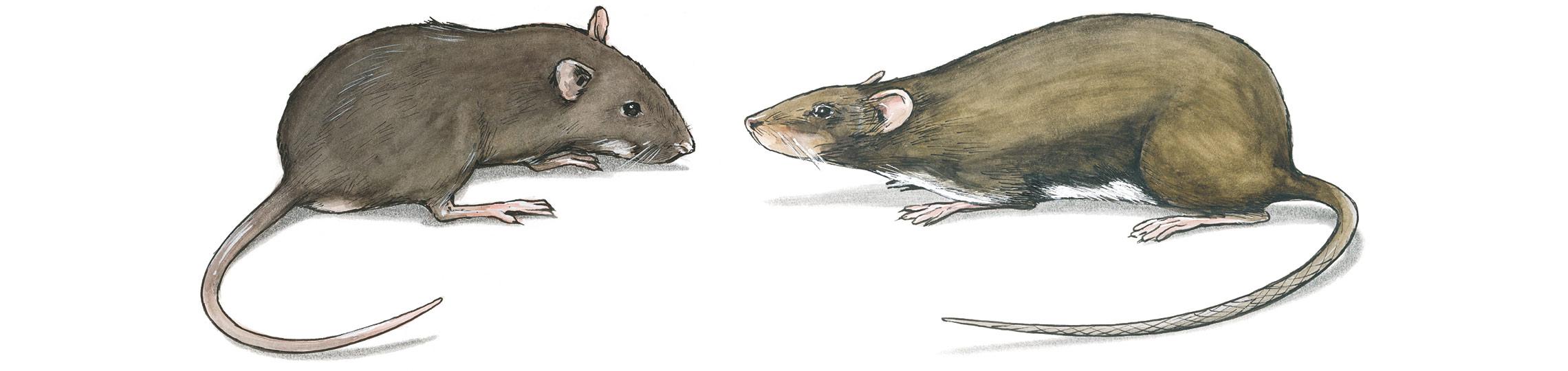 Länsförsäkringar råttor