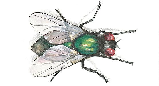 problem med flugor
